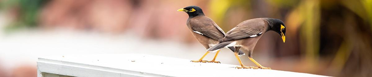 Picture of two Indian Myna birds on a ledge