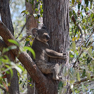 This is a photo of a Koala in a tree in Logan Village