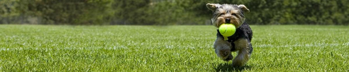 Picture of dog running in park with ball in mouth