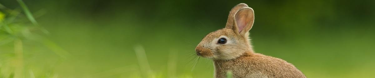 Picture of rabbit in grass